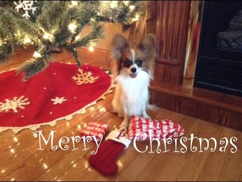 Percy the Papillon Dog: Percy's Christmas