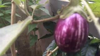 Vegetable Kitchen Garden Kerala Brinjal (Eggplant)