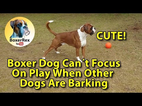 Boxer Dog Can´t Focus On Play When Other Dogs Are Barking 😁
