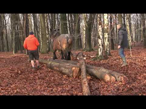 Belgian Draft Horses: a course in the techniques of horse logging (part 1)