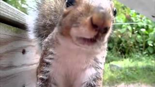 Milkshake Squirrel Steals Shake Shack from NYC Garbage. Squirrel eats seeds