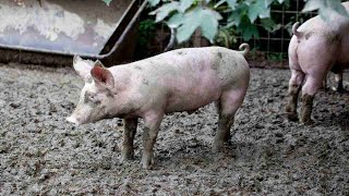 How to Control a Pig's Rooting Behavior   Pet Pigs