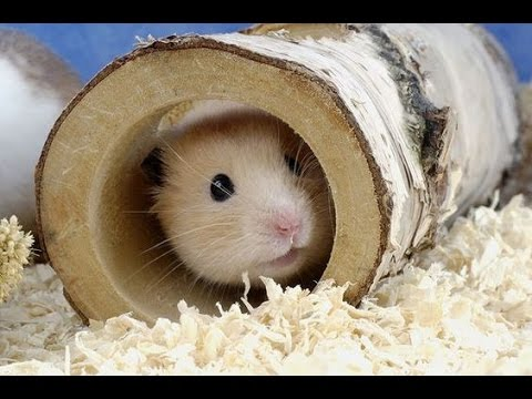 hamster-in-the-short-life-of-a-little-ask,-much-joy-and-fun-we.