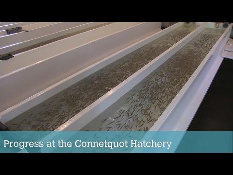 Progress At The Connetquot Preserve Fish Hatchery