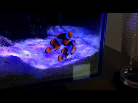 What Is This Behaviour From These Clownfish / Hosting / Spawning ???