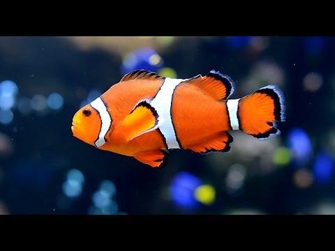 Relax akvaryum clownfish rahatlama (RelaxLoungeTV)