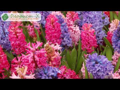 Уход за гиацинтом осенью, весной и летом; зимовка гиацинтов, цветение и хранение