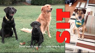Watch Me (Sit / Stay Stay) (Silento Parody) Cute dogs and cats dancing!