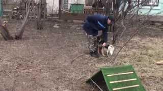 Дрессировка собак Кривой Рог: мопс Пчела - самый лучший наставник и учитель!