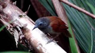 The Chestnut Winged Babbler Of Sepilok