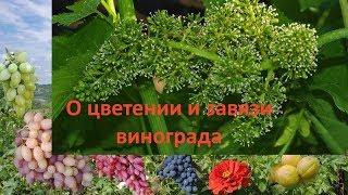 Начинающему виноградарю, цветение и завязь винограда