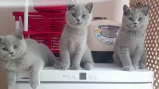 Три богатыря - три британских котика.