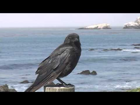 Ravens vs Crows, they're different!