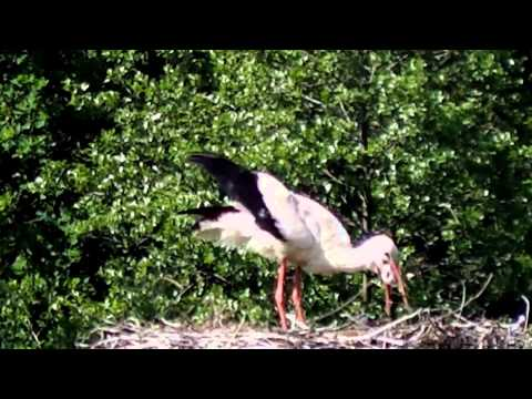 White stork kills and eats young