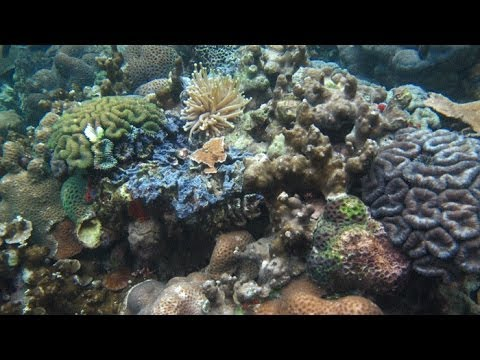 The World: Corals in Palau are thriving in more acidic seawater