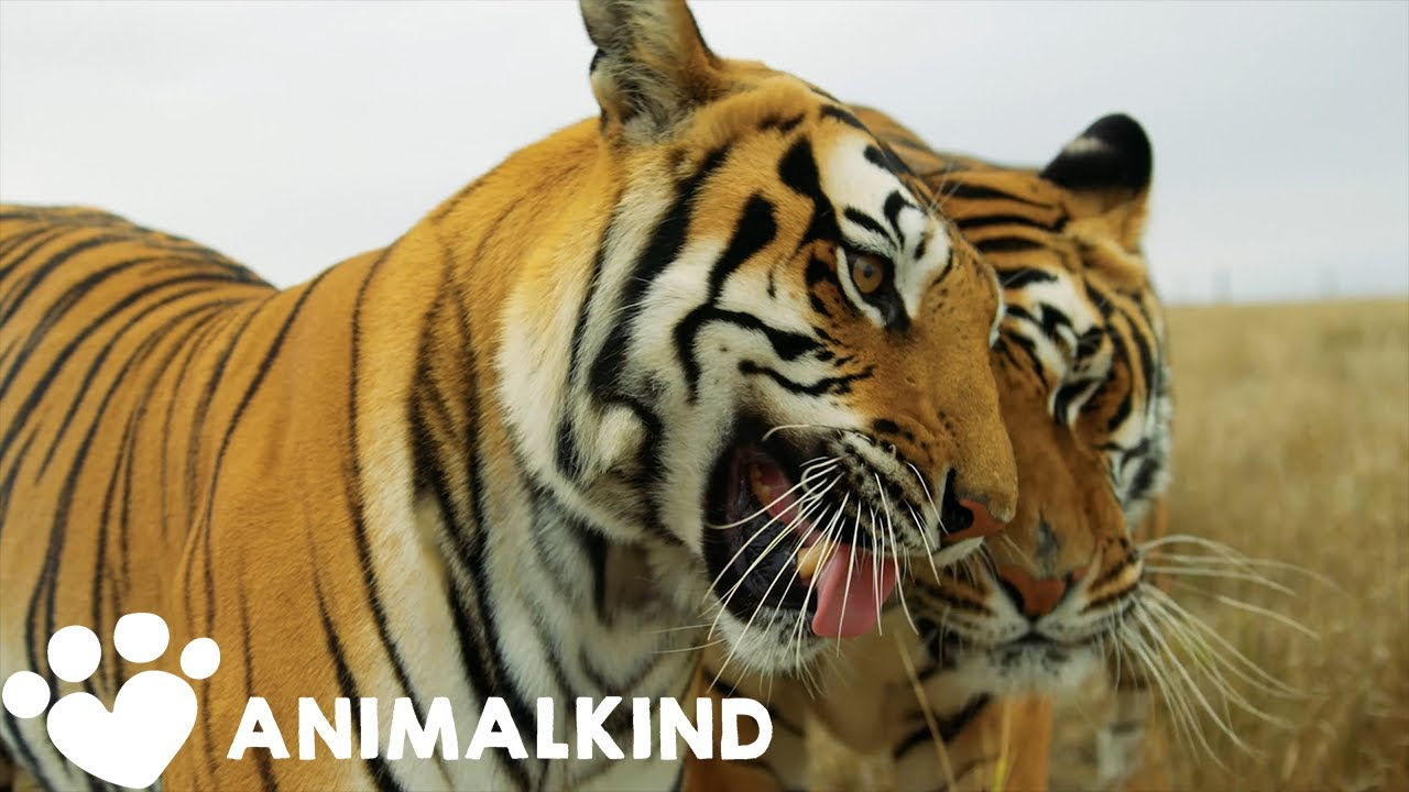 Here's what happened to 'Tiger King' animals after doc | Animalkind