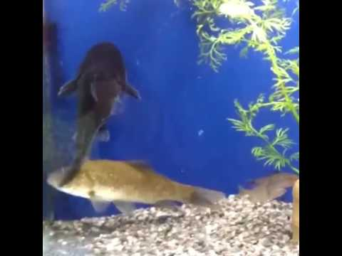 Fish Eat Other Fish In Fish Tank Youtube