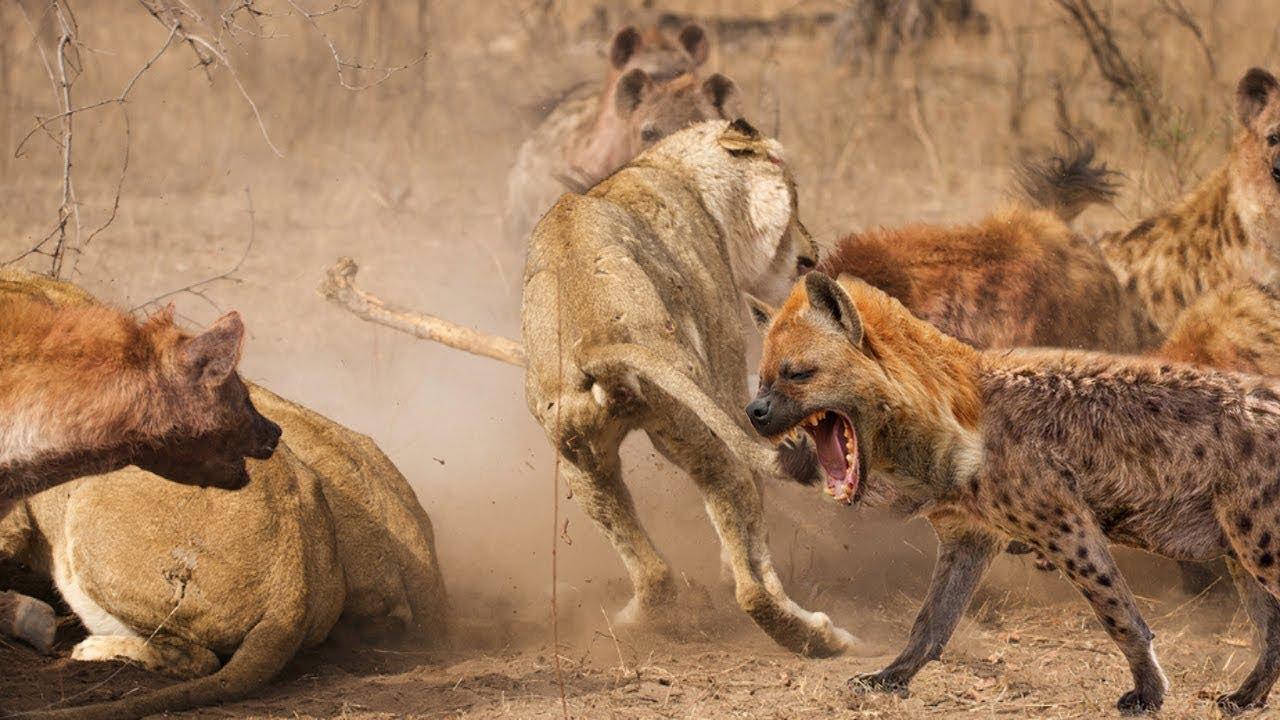Лев против гиен картинки