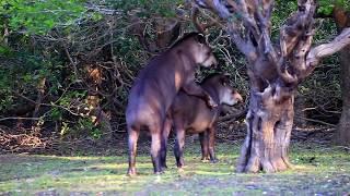 wild tapirs mating rio mutum pantanal brazil