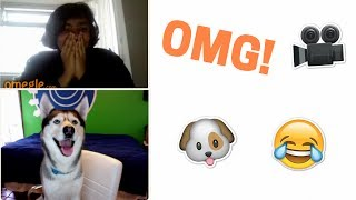 My Husky Goes on Omegle! (Hilarious)