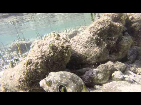 Costa Rica underwater salt water puffer