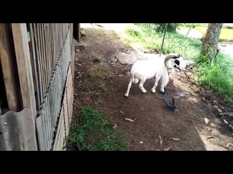 suara-kambing-lucu-domba-garut