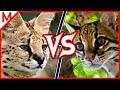 Serval vs Ocelot   ANIMAL BATTLE (+Alligator vs Crocodile winner)