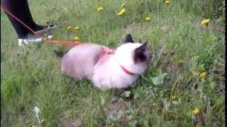 Домашняя кошка на прогулке
