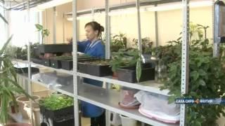 видео Нолана: интересные виды с фото, выращивание из семян, уход