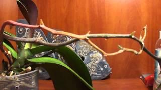 Смотреть видео стебель желтеет орхидея что делать видео