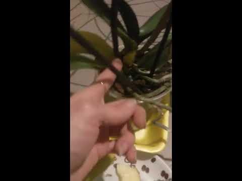 У орхидеи желтеют и опадают листья?Что делать?Тест на вредителя!