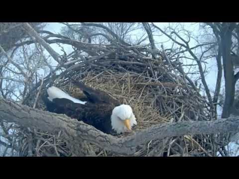 alcoa 1st egg laid 2015 02 13 @ 5:15pm cst bald eagle nest Davenport, IA