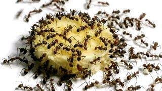 Hormigas vs. Plátano