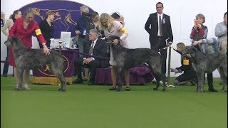 Scotish Deerhound Westminster dog show 2020