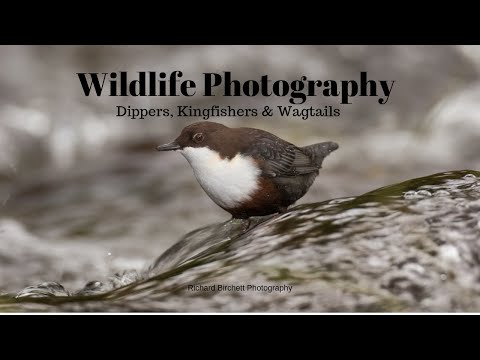 BIRD PHOTOGRAPHY | Kingfishers, Dippers & Wagtails