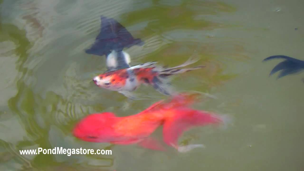 how to keep goldfish pond water clean