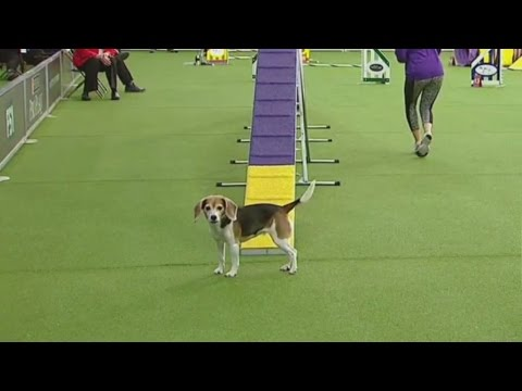 Watch Westminster Dog Show Contestant Get Distracted During Agility Competition