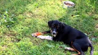 Собака кушает болгарский  перец