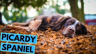 Picardy Spaniel - TOP 10 Interesting Facts