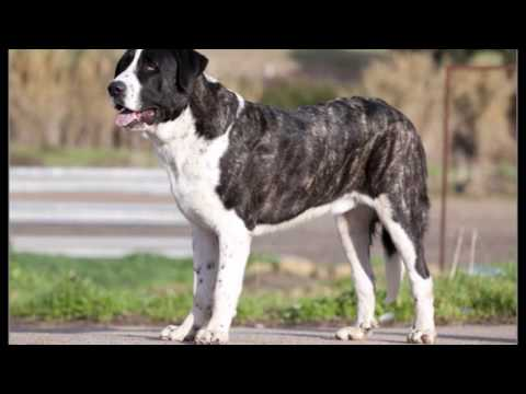 DOG BREEDS RASE LIST #R: ROTTWEILER DOG RASE, RUSSELL TERRIER DOG RASE, RUSSIAN TOY DOG | DISCOVER