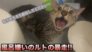 風呂嫌いのルトを半年ぶりに風呂に入れたら超攻撃的になった!!