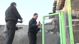 Соревнования буйных голубей 2012 в Армении.Тел +37491553785
