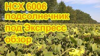 НСХ 6006 Гибрид подсолнечника под экспресс (Нови сад / Ns seme) . Обзор. Курская область. Мантурово.