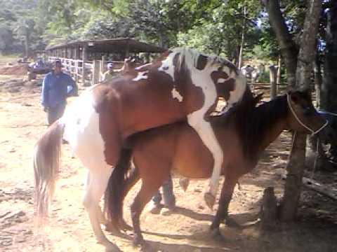 Fotos de cavalos cruzando com eguas