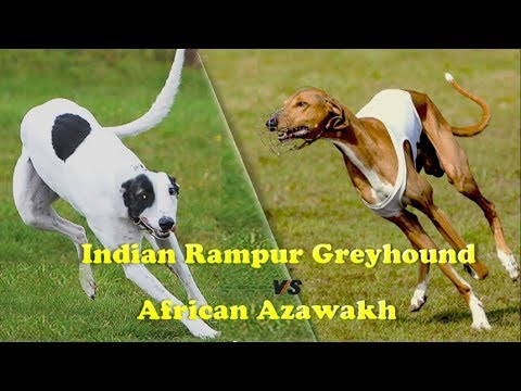 Indian Rampur Greyhound Vs African Azawakh