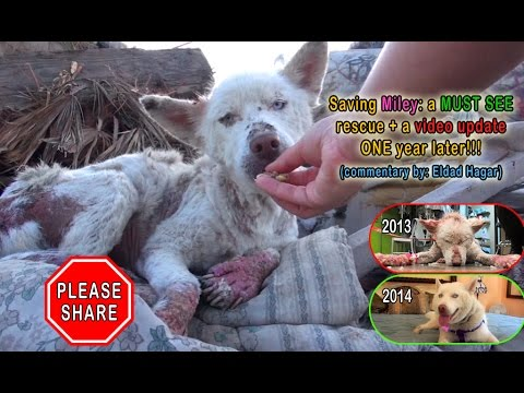 Download Youtube: NEW VIDEO: Saving Miley: a MUST SEE rescue + a video update ONE year later!!!  Please share.