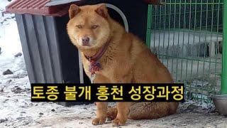 [41] 국견 토종 불개 홍천이 성장과정