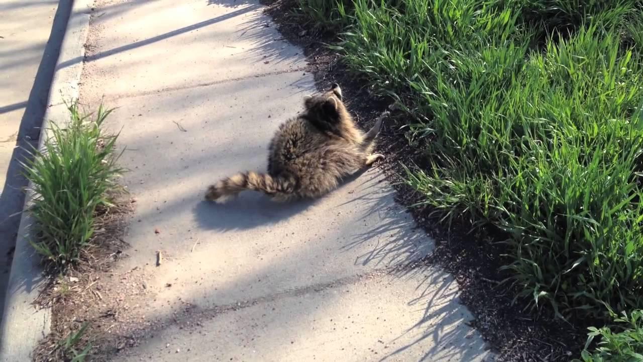 Image of: Raccoon Removal Wikipedia Cute But Terrifying Animal Control Nabs Rabid Raccoon Youtube