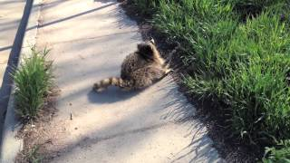 Cute but terrifying: Animal Control nabs Rabid Raccoon