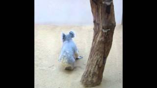 あまり動いたのを見たことがないコアラが地上を走る エサの時だけ前に来...